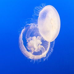 Fototapete - jelly fish in the blue sea