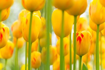 Obraz Piękny widok żółtych tulipanów - fototapety do salonu
