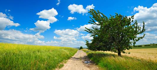 Fototapete - Kirschbaum mit reifen roten Kirschen am  Feldweg, Rapsfeld, Getreidefeld, Kulturlandschaft, blauer Himmel