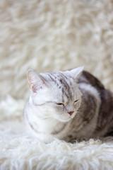 Portrait of britain cat over white background