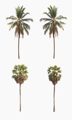 sugar palm tree and Coconut tree on a white background