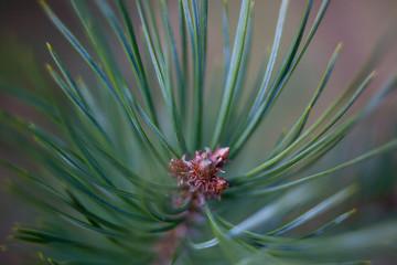 Pine Shallow