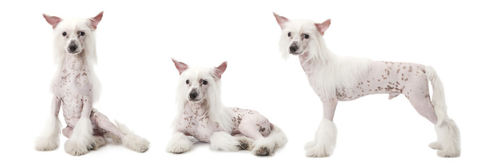 Chinese Crested dog over white
