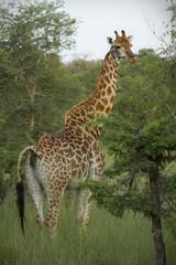 Large adult giraffe grazing on acacia trees