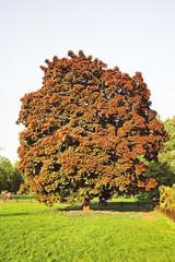 "Norway maple (Acer platanoídes) garden form with maroon leaves ""Schwedleri"" in the Botanical garden"