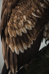 Close up of brown eagle wings and feathers