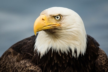 Bald eagle portrait, head and shoulders