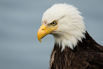 Bald eagle portrait, head and shoulders, side view