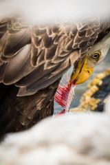 Bald eagle eating bone, close up, cropped