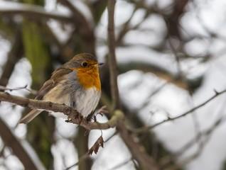 Robin - several different species of songbirds of the family Drozdov ( zorianka, garden Malinovka, Malinovka river, marsh Robin, forest Robin, Warbler) well it imitates the songs of other birds.