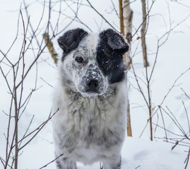 Portrait of an unknown dog fancy black and white color on a white background winter snowy clearing.