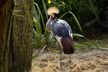 African white crowned crane