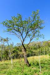Woodland & young mahogany tree saplings in Escuintla, Guatemala, Central America