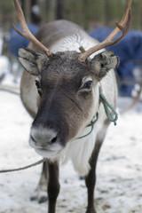 reindeers in the winter
