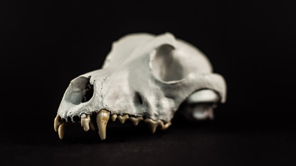 dog skull on a black background