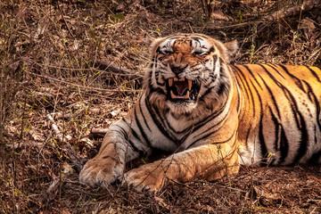 Close up of an impressive Bengal tiger showing its teeth, Kanha National Park, India