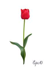Red Tulip isolated on white background close up. Photo-realistic mesh vector illustration.