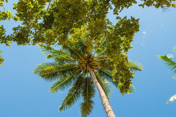 Coconut palm tree under blue sky, Krabi province, Thailand