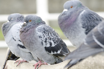 Pigeons perching on the back of seat.