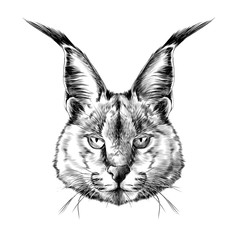 Caracal head sketch vector
