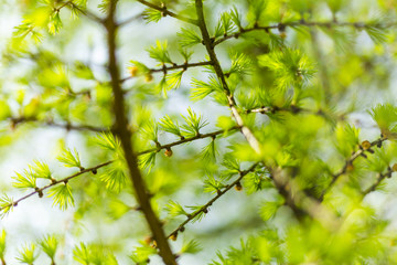 Fresh and green twigs of larch in the spring garden