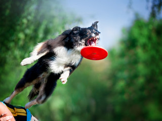 jumping border collie catching the frisby disk