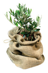 small olive tree in the bag