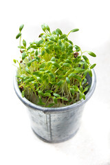 cress in a zink pot on white background isolated