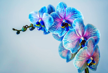 Obraz Blue orchid. Brunch of orchid with the blue flowers with violet viens. - fototapety do salonu