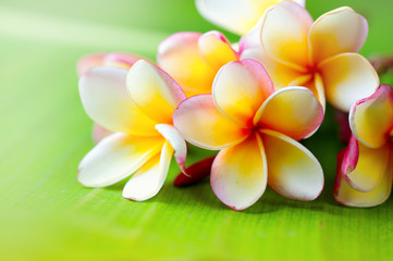 Papiers peints Frangipanni Frangipani flower closeup. Exotic plumeria spa flowers on green leaf tropical background