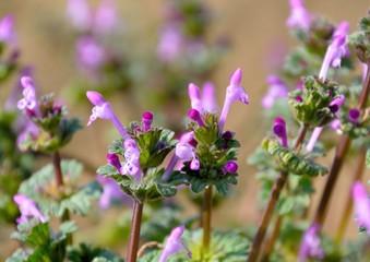 Henbit flowers or Lamium amplexicaule in spring