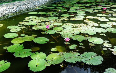 Lilies in a Pond