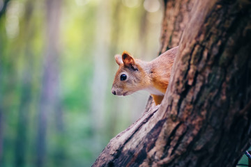 Cute red squirrel animal sitting on a branch of pine in the forest in sunny spring afternoon in wildlife woods. Amazing picture of beautiful sunny squirrel sitting on a high tree in deep forest