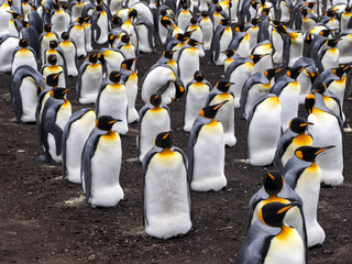 King penguin breeding colony, Aptenodytes patagonica, Volunteer Point, Falklands / Malvinas