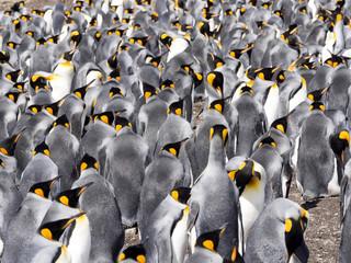 King penguin breeding colony, Aptenodytes patagonica, Volunteer Point, Falklands / Malvinas