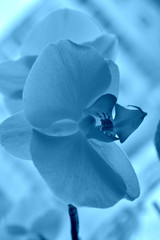 blue  orchid flower. Toned image