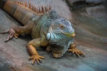 adult big iguana