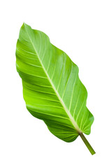 Big long green leaf isolated with clipping path.