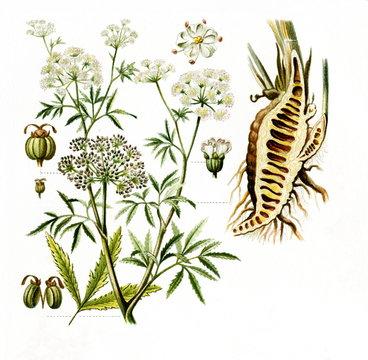 Cowbane (Cicuta virosa) (from Meyers Lexikon, 1895, 7/568/569)