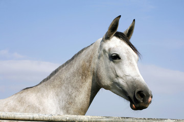 Head shot of a beautiful horse against blue sky background