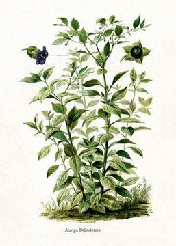 Deadly nightshade (Atropa belladonna) (from Meyers Lexikon, 1895, 7/568/569)