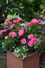 Pinke Rose im Dekortopf 3