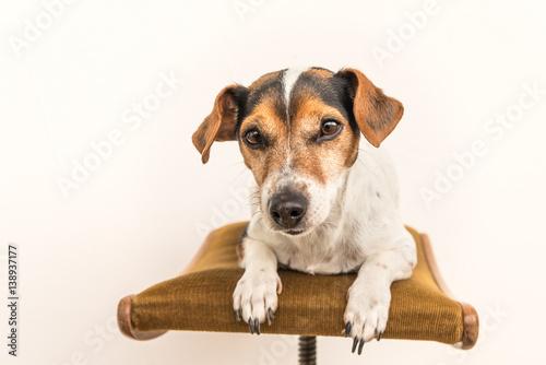 kleiner hund liegt auf einem hocker glatthaariger jack. Black Bedroom Furniture Sets. Home Design Ideas