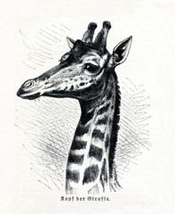 Head of giraffe (Giraffa camelopardalis) (from Meyers Lexikon, 1895, 7/591)