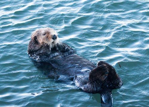 Male California Sea Otter floating in Morro Bay on the Central California Coast USA