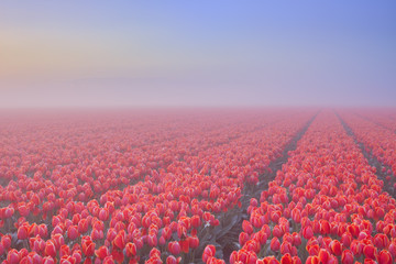 Fog over blooming tulips in The Netherlands at dawn