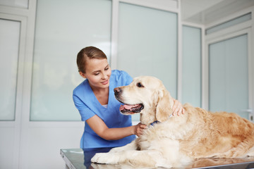Young pretty vet in blue uniform examining white labrador lying on table quietly with its tongue out