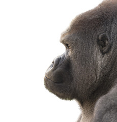 Portrait of a gorilla with white background. Isolated for use in editing