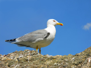 Seagull on the sky background.