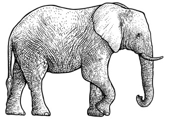 Elephant illustration, drawing, engraving, ink, line art, vector